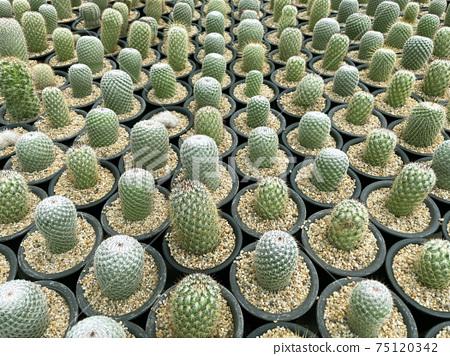fresh cactus in pot. Cactus plant pattern 75120342
