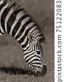 Zebra Head Neck Sepia Photo 75122083