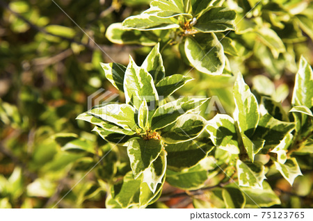 Beautiful Osmanthus Heterophyllus Goshiki False Holly, holly osmanthus or holly olive with spiky variegated evergreen foliage. Green landscape, fresh wallpaper, nature background concept 75123765