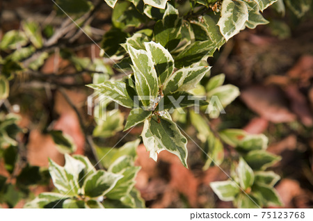 Beautiful Osmanthus Heterophyllus Goshiki False Holly, holly osmanthus or holly olive with spiky variegated evergreen foliage. Green landscape, fresh wallpaper, nature background concept 75123768