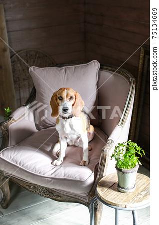 坐在時尚沙發上的小獵犬狗 75134669