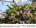 The cold scarlet cherry blossoms that are blooming at the tip of the branch and have begun to fall 75149485