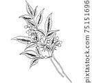 植物插圖-南迪娜 75151696