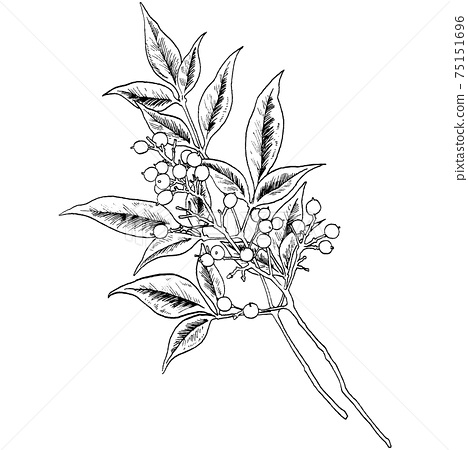 Botanical illustration-Nandina 75151696