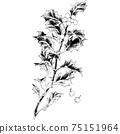植物插圖冬青 75151964