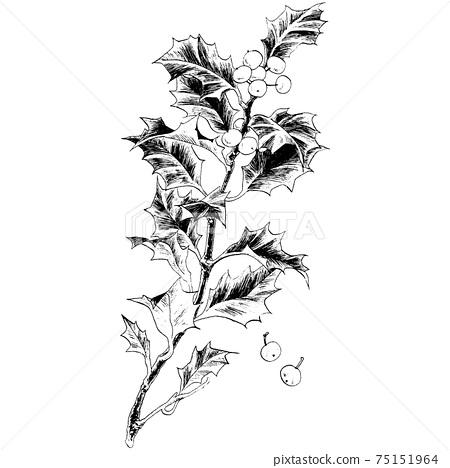 Botanical illustration-holly 75151964