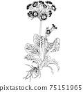 植物插圖-櫻草屬 75151965
