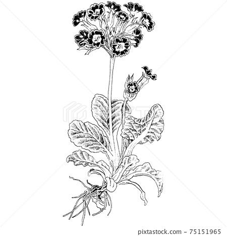 Botanical illustration-Primula 75151965