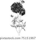 植物插圖大麗花 75151967