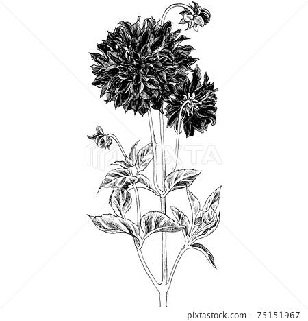 Botanical illustration-Dahlia 75151967