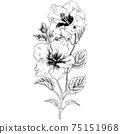 植物插圖木槿 75151968