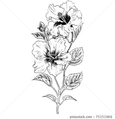Botanical illustration-Hibiscus 75151968