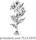植物插圖-卡納 75151970