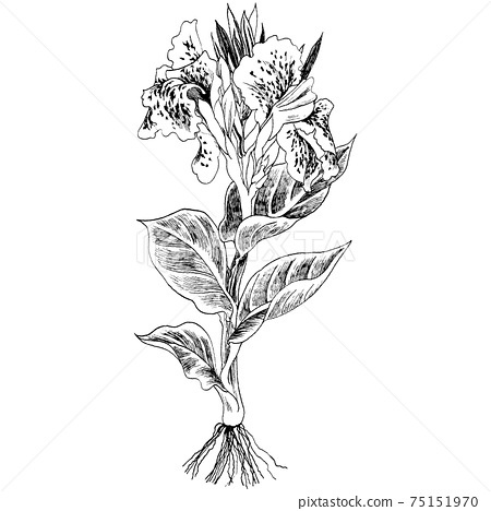 Botanical illustration-Kanna 75151970