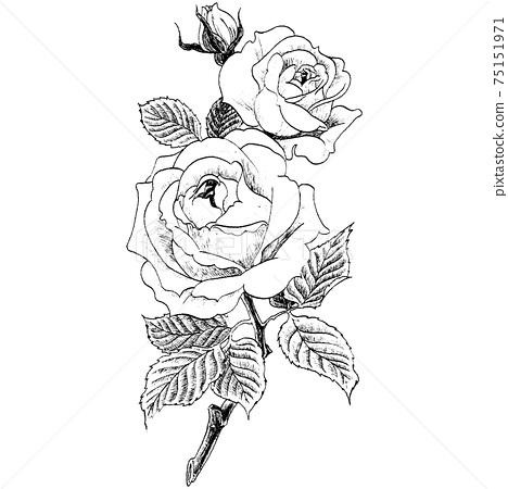 Botanical illustration-rose 75151971
