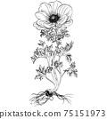 植物插圖海葵 75151973