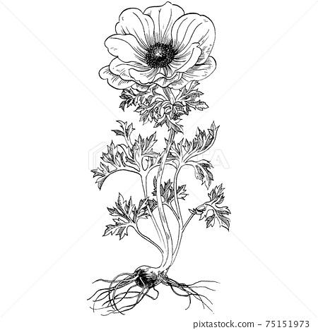 Botanical illustration-Anemone 75151973