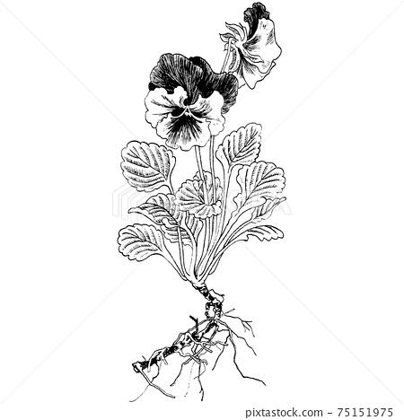Botanical illustrations-pansies 75151975