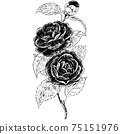 植物插圖-山茶花 75151976