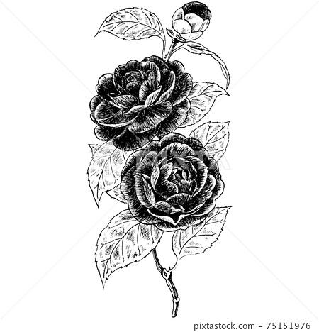 Botanical illustration-Camelia 75151976