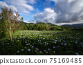 The beautiful scenery of the Hydrangea flower field at Khun Pae, Chiang Mai, Thailand. 75169485