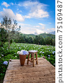 The beautiful scenery of the Hydrangea flower field with a lone chair and flower basket at Khun Pae. 75169487