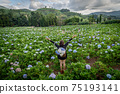 The scenery of a happy tourist in a hydrangea flower field at Khun Pae, Chiang Mai, Thailand. 75193141