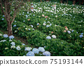 The beautiful scenery of the Hydrangea flower field at Khun Pae, Chiang Mai, Thailand. 75193144