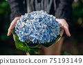 The scenery of a big hydrangea flower in tourist's hands at Khun Pae, Chiang Mai, Thailand. 75193149