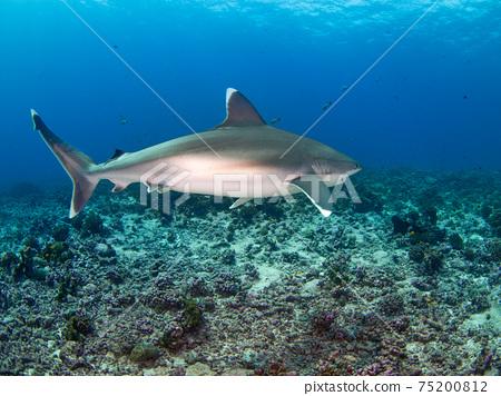 在珊瑚礁中游泳的銀鰭鯊(Rangiroa環礁,Tuamotu群島,法屬波利尼西亞) 75200812