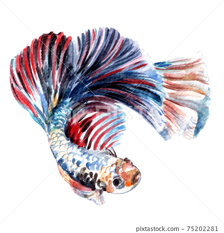 Betta fish watercolor 75202281