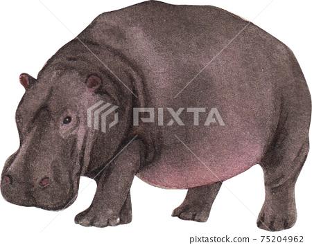 Hippopotamus element watercolor 75204962