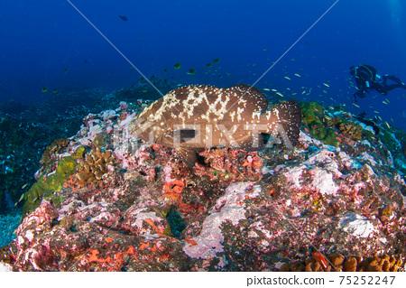 馬達拉哈塔在珊瑚礁中游泳(蘭吉羅環礁,圖阿莫圖群島,法屬波利尼西亞) 75252247
