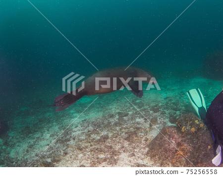 加州海獅與潛水鰭調情(墨西哥拉巴斯) 75256558