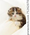 스코티시 폴드의 장모 부러진 귀 새끼 고양이 75262070