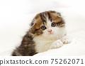 스코티시 폴드의 장모 부러진 귀 새끼 고양이 75262071