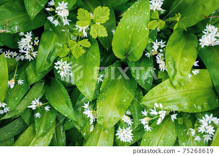 wild garlic blossom in dew drops. green nature background view from the top. leaves of wood garlic plant are used as salad, herb, in soup or for pesto sauce. in korea known as mountain garlic 75268619