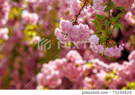 pink cherry blossom closeup. beautiful nature background in spring on a sunny day in park 75268626