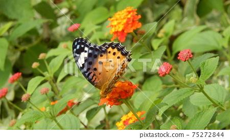 암끝 검은 표범 나비 75272844