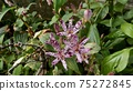 Hototogisu flower 75272845