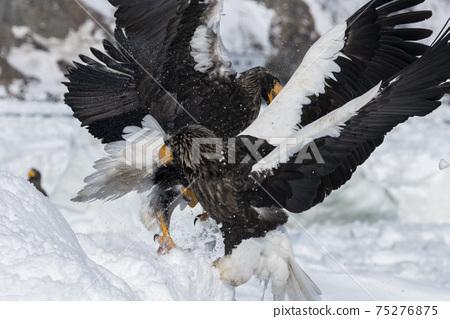 兩艘Steller's Sea Eagles戰鬥(北海道) 75276875