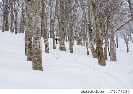 Mountain skiing, going to the snowy mountains, Shinshu Nabekurayama 75277280