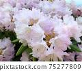 Ishikusuhana(Shakunage)柔和的粉紅色 75277809