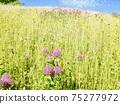柔和的彩色的字段紅三葉草 75277972