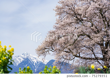 벚꽃과 카이 고마 75279351