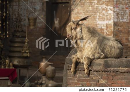 居住在巴克塔普爾(尼泊爾)市的一隻山羊 75283776