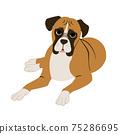 期待與他的身體下來的拳擊手狗的前視圖 75286695