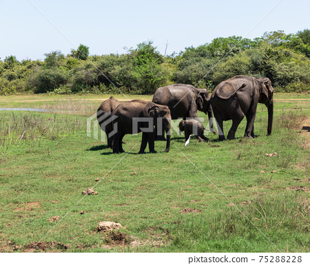 Close up of elephant family with a newborn baby elephant in a National Park of Sri Lanka 75288228