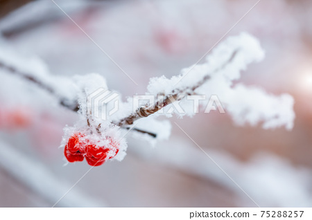Red rawanberry covered with snow in winter day 75288257