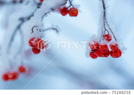 Red rawanberry covered with snow in winter day 75288258